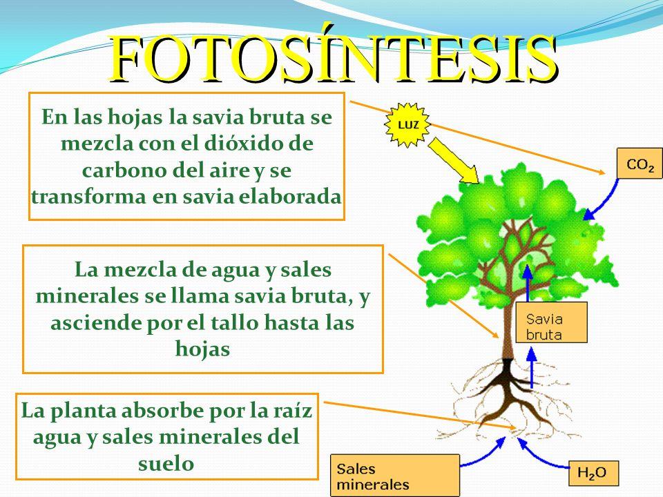 La planta absorbe por la raíz agua y sales minerales del suelo