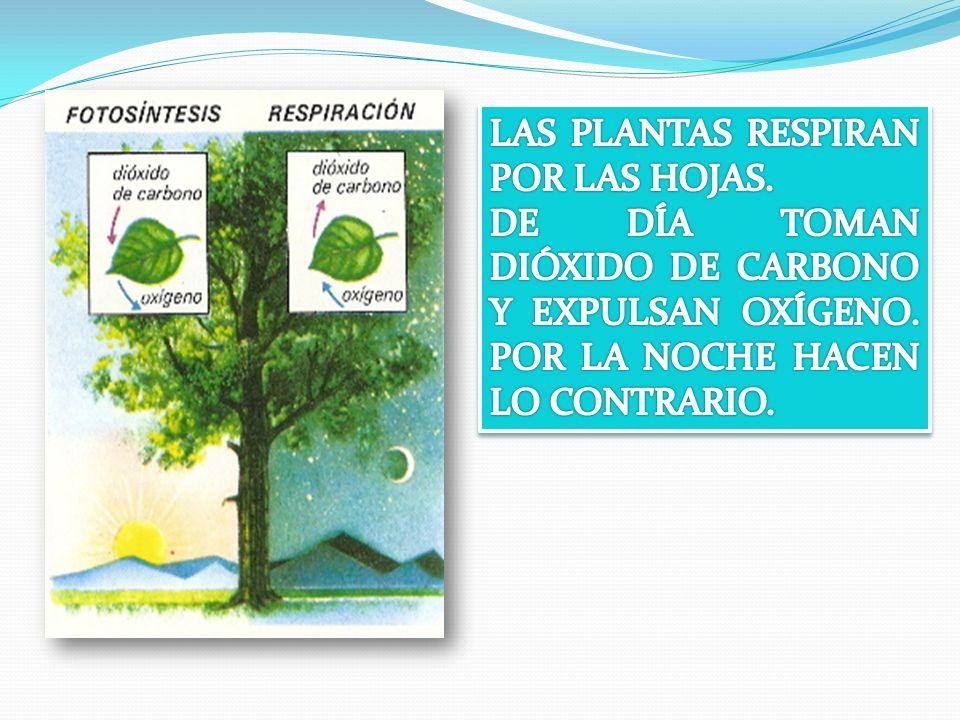 LAS PLANTAS RESPIRAN POR LAS HOJAS.