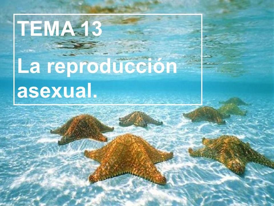 TEMA 13 La reproducción asexual.