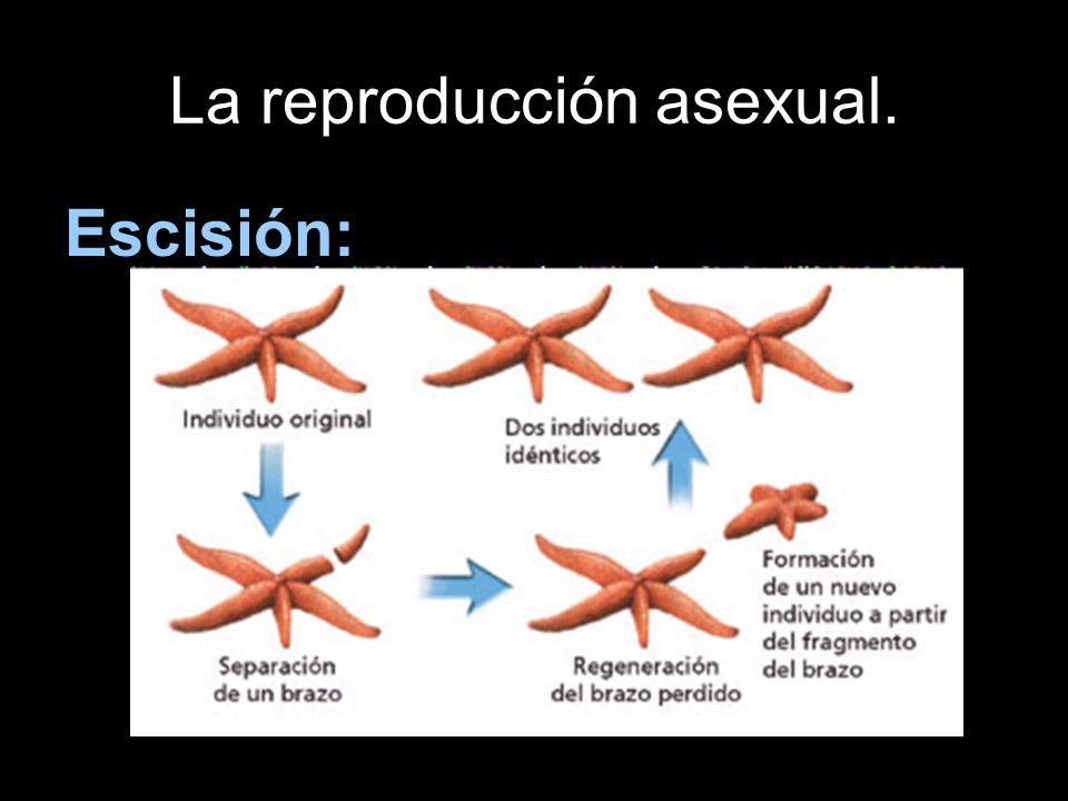 La reproducción asexual.