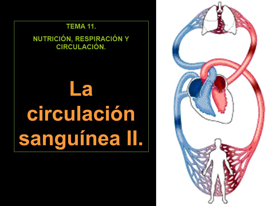 NUTRICIÓN, RESPIRACIÓN Y CIRCULACIÓN. La circulación sanguínea II.