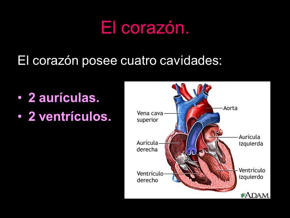 El corazón. El corazón posee cuatro cavidades: 2 aurículas.