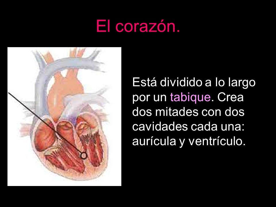 El corazón.Está dividido a lo largo por un tabique.