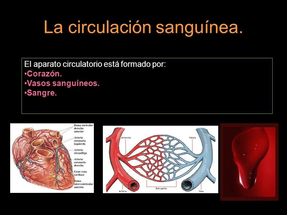 La circulación sanguínea.