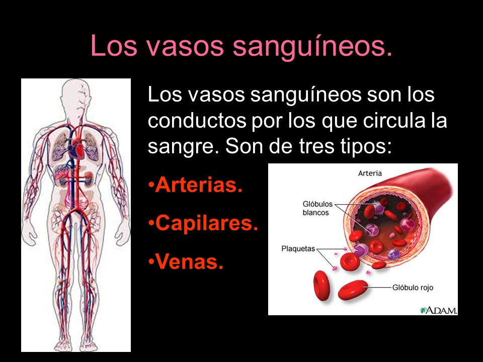 Los vasos sanguíneos. Los vasos sanguíneos son los conductos por los que circula la sangre. Son de tres tipos: