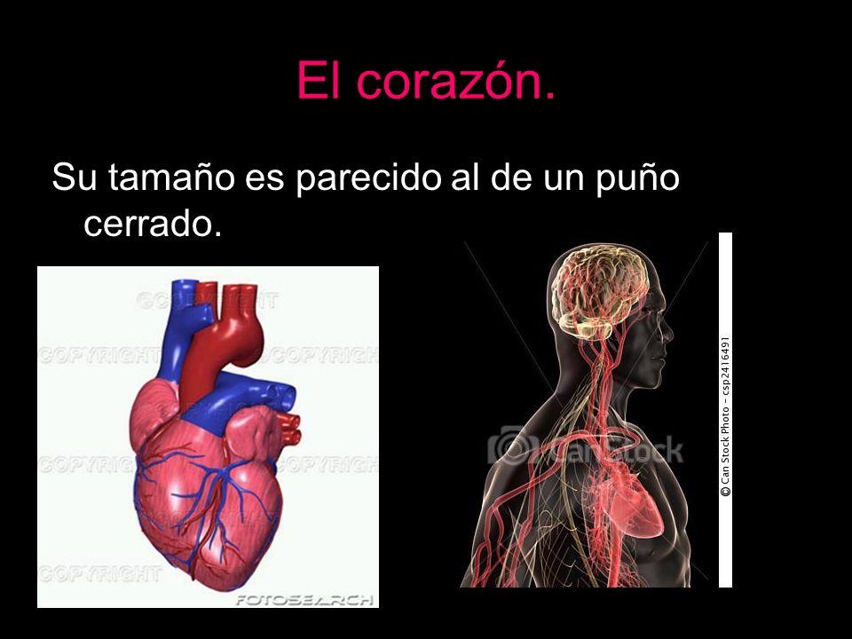 El corazón. Su tamaño es parecido al de un puño cerrado.