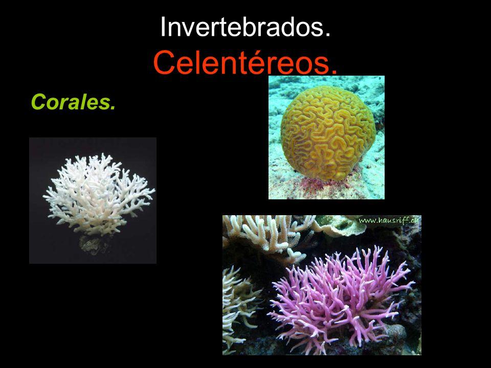 Invertebrados. Celentéreos.