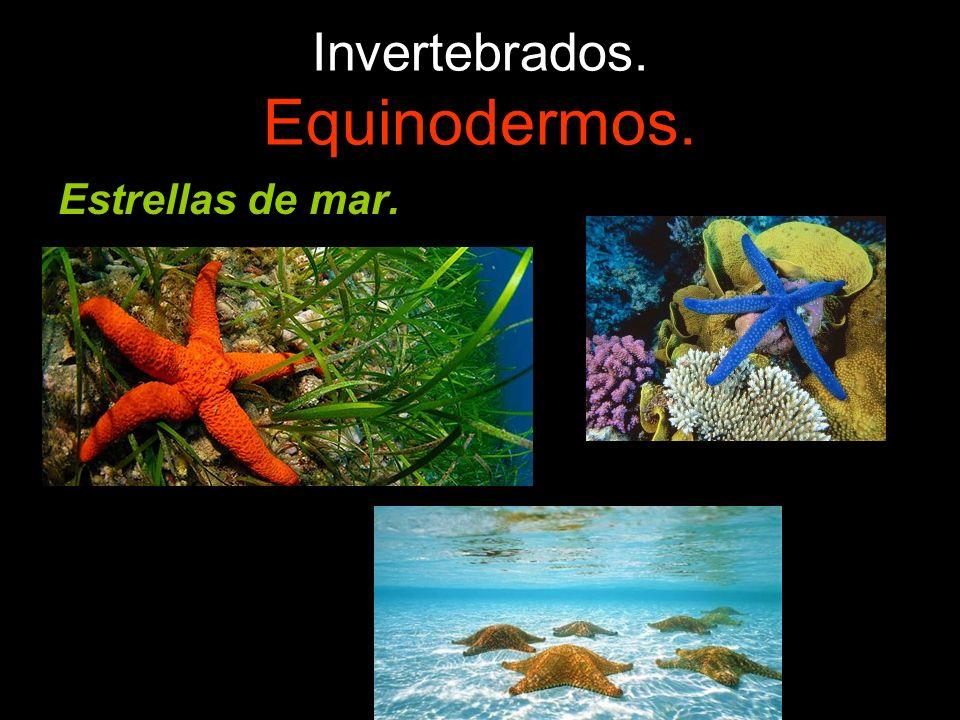 Invertebrados. Equinodermos.
