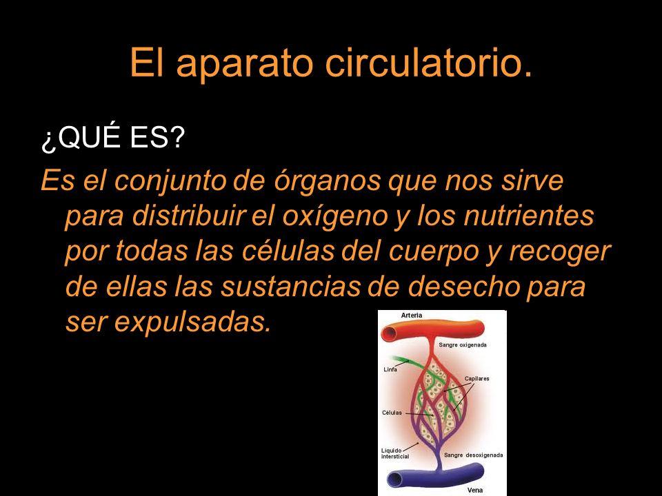 El aparato circulatorio.