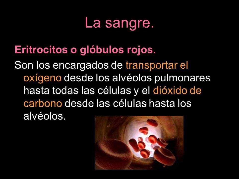 La sangre. Eritrocitos o glóbulos rojos.