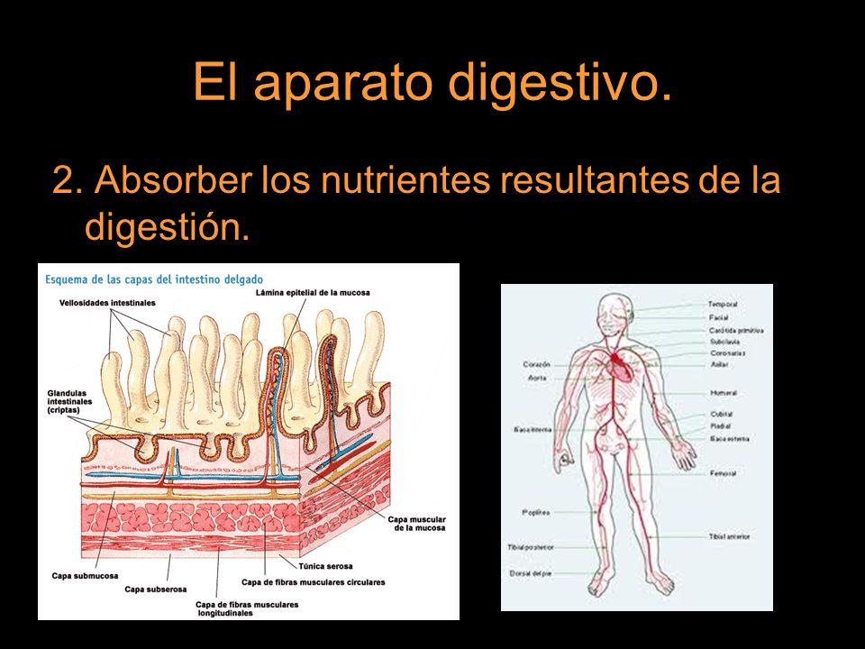 El aparato digestivo. 2. Absorber los nutrientes resultantes de la digestión.