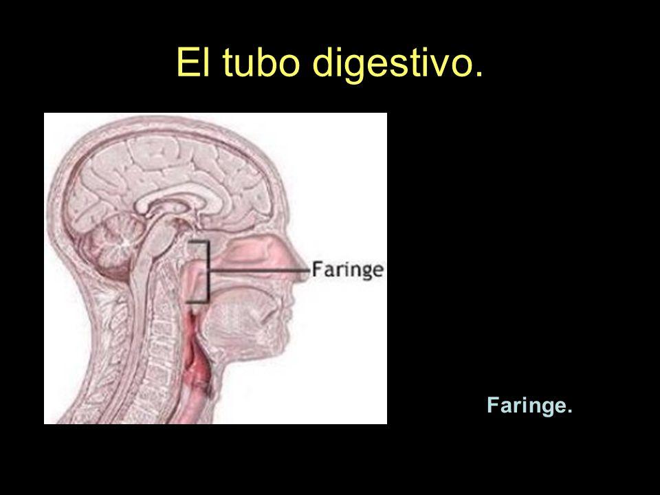 El tubo digestivo. Faringe.