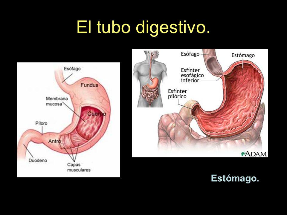 El tubo digestivo. Estómago.