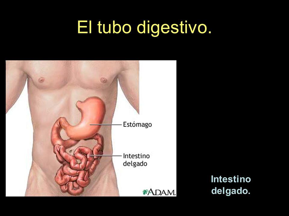 El tubo digestivo. Intestino delgado.