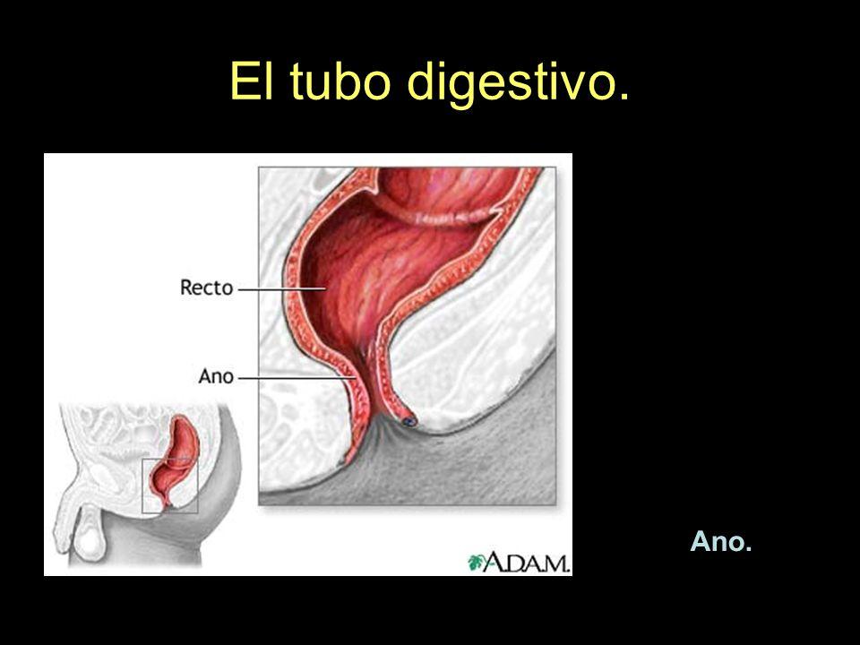 El tubo digestivo. Ano.