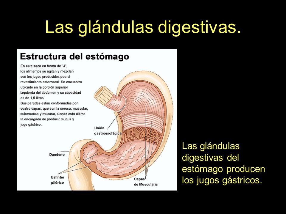 Las glándulas digestivas.