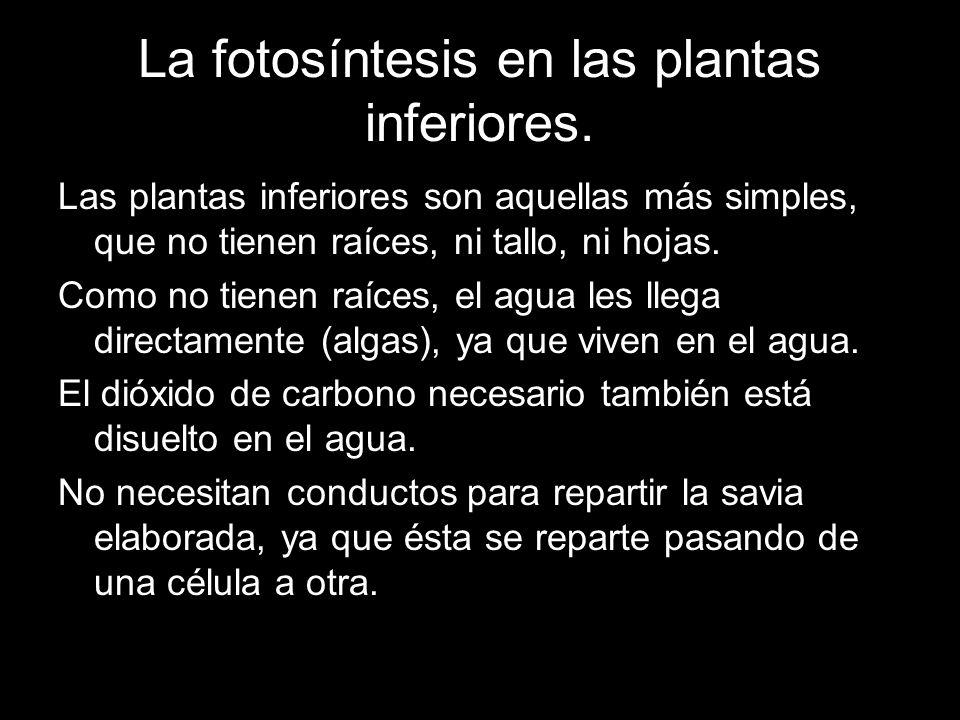 La fotosíntesis en las plantas inferiores.
