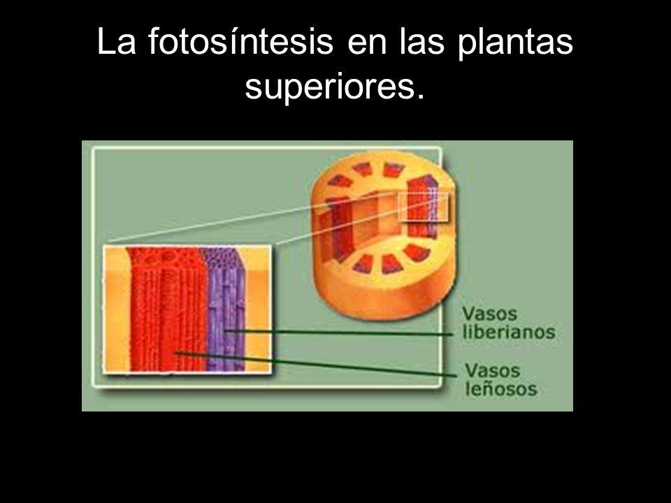 La fotosíntesis en las plantas superiores.