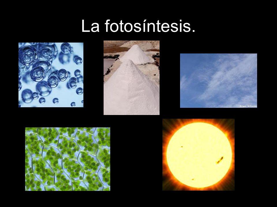 La fotosíntesis.
