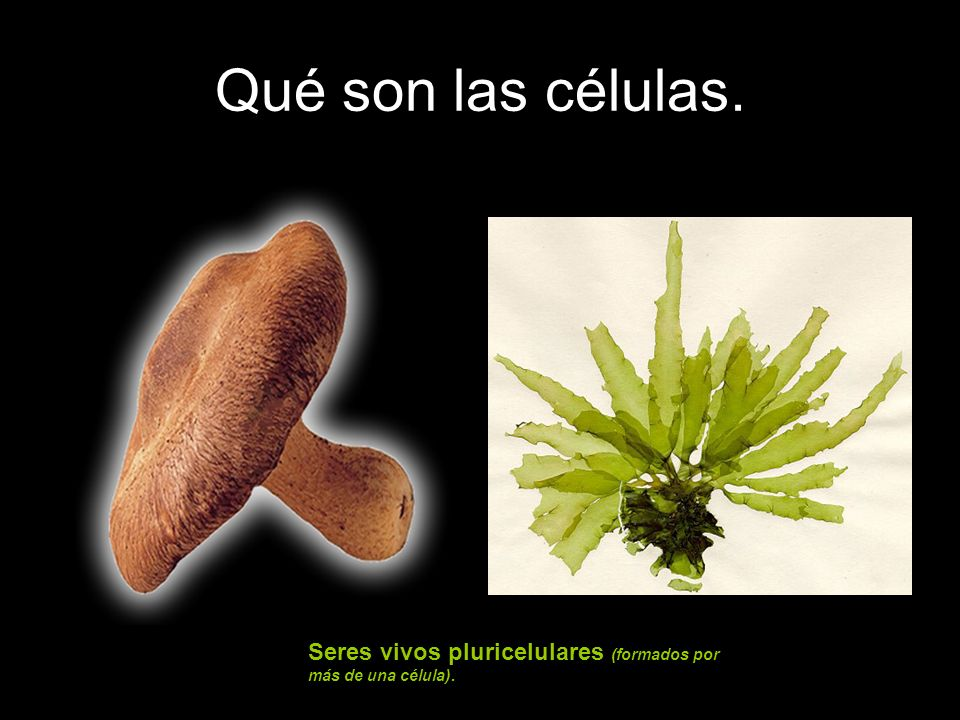 Qué son las células. Seres vivos pluricelulares (formados por más de una célula).