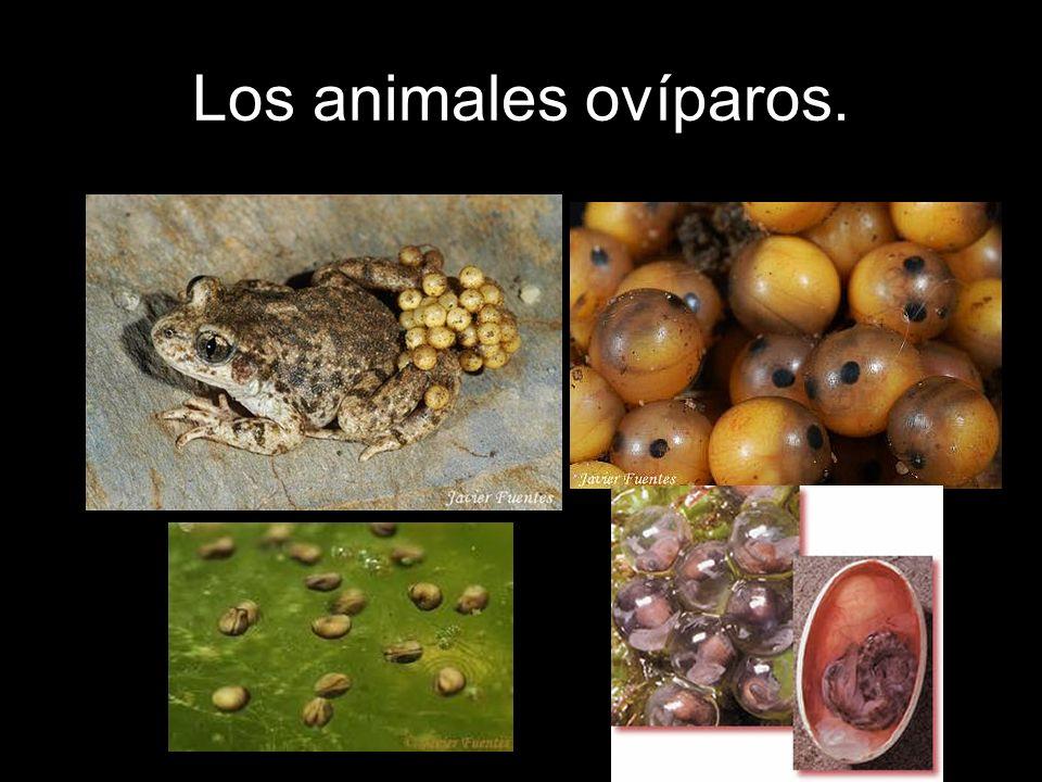 Los animales ovíparos.
