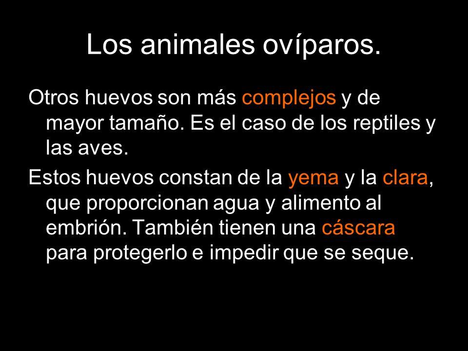 Los animales ovíparos. Otros huevos son más complejos y de mayor tamaño. Es el caso de los reptiles y las aves.