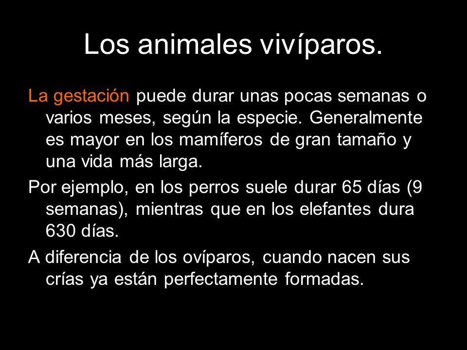 Los animales vivíparos.