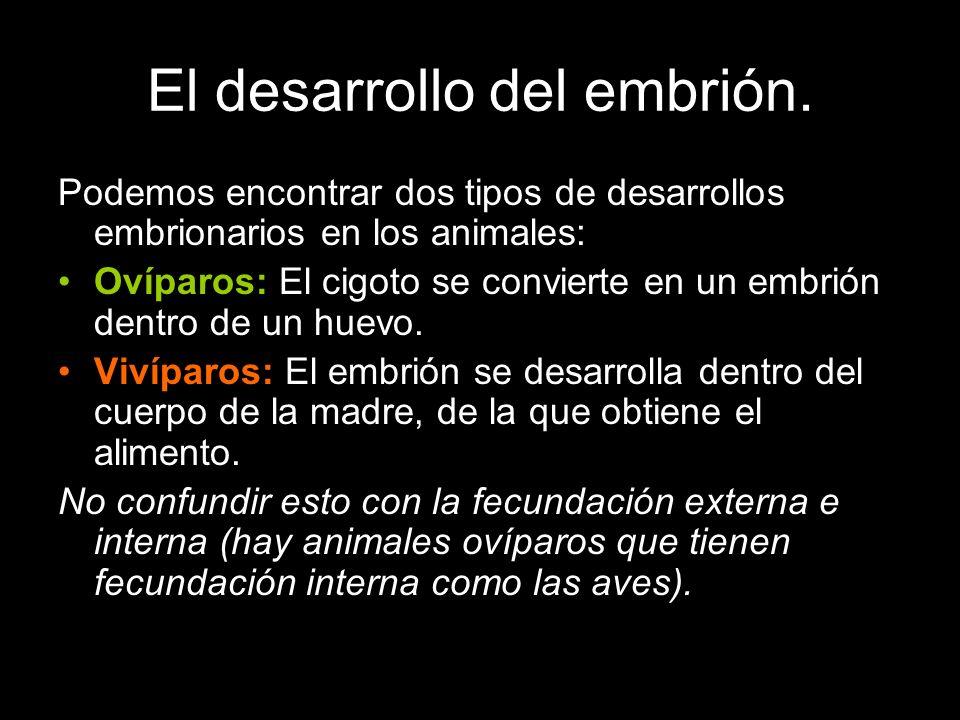 El desarrollo del embrión.
