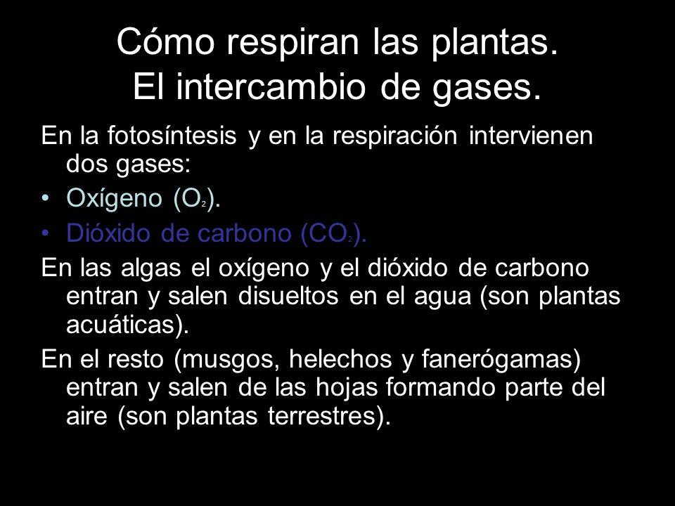 Cómo respiran las plantas. El intercambio de gases.