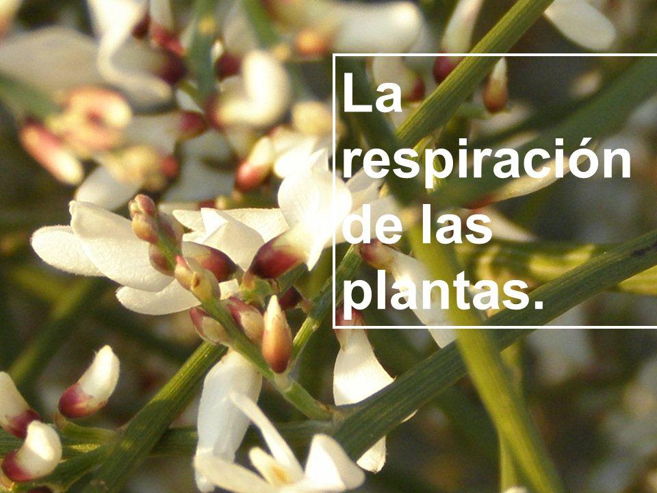 La respiración de las plantas.