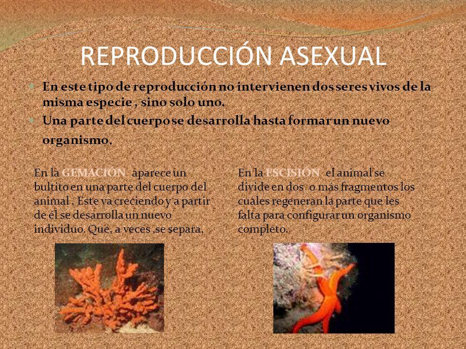 REPRODUCCIÓN ASEXUALEn este tipo de reproducción no intervienen dos seres vivos de la misma especie , sino solo uno.