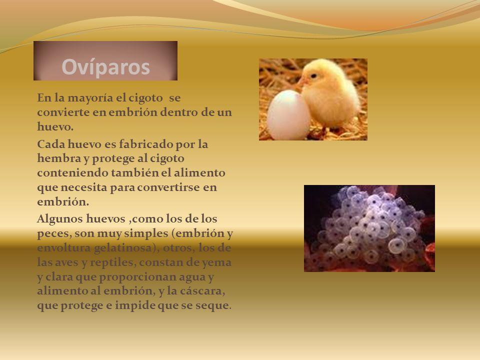 Ovíparos En la mayoría el cigoto se convierte en embrión dentro de un huevo.
