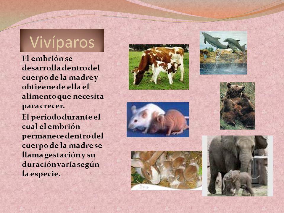 VivíparosEl embrión se desarrolla dentro del cuerpo de la madre y obtieene de ella el alimento que necesita para crecer.