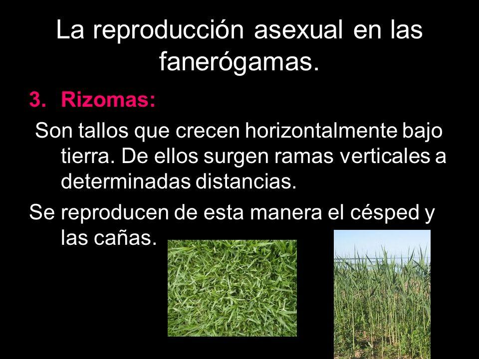 La reproducción asexual en las fanerógamas.