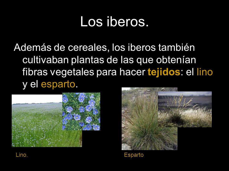 Los iberos. Además de cereales, los iberos también cultivaban plantas de las que obtenían fibras vegetales para hacer tejidos: el lino y el esparto.
