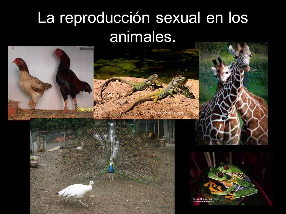 La reproducción sexual en los animales.