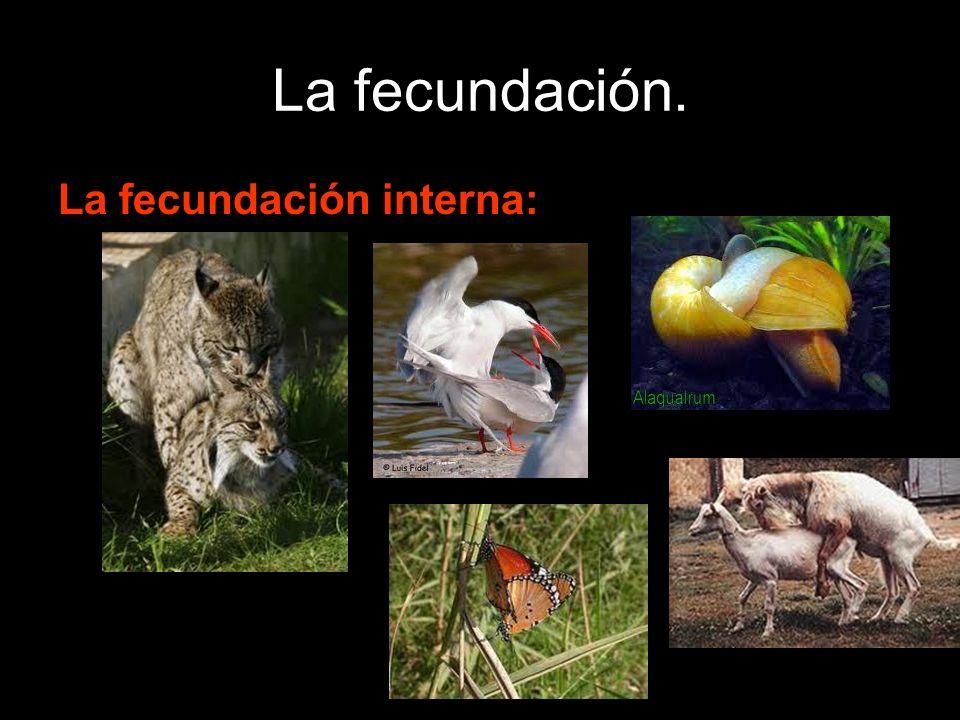 La fecundación. La fecundación interna: