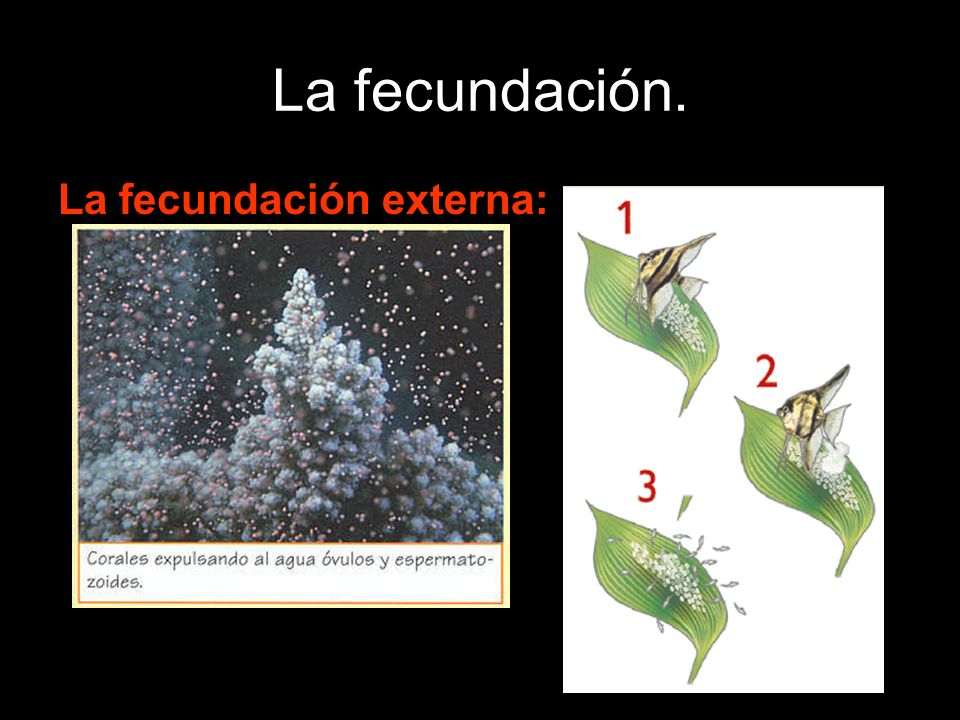 La fecundación. La fecundación externa: