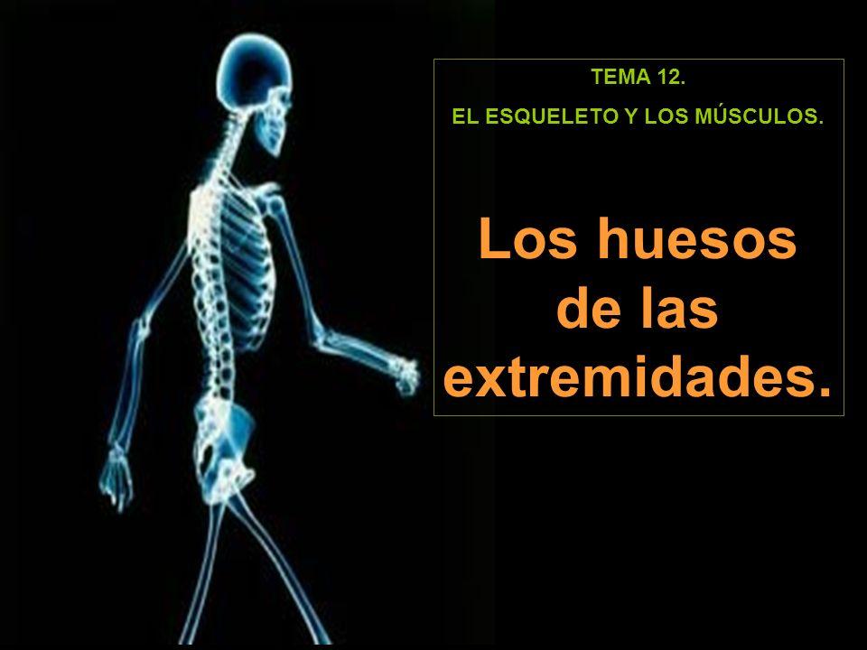 EL ESQUELETO Y LOS MÚSCULOS. Los huesos de las extremidades.