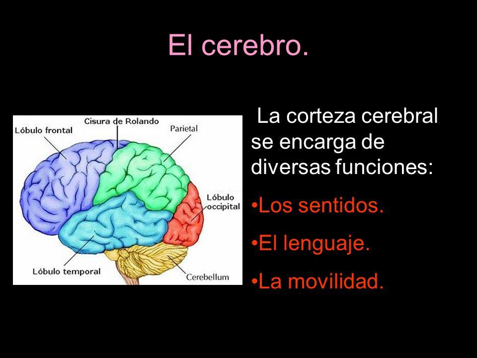 El cerebro. La corteza cerebral se encarga de diversas funciones: