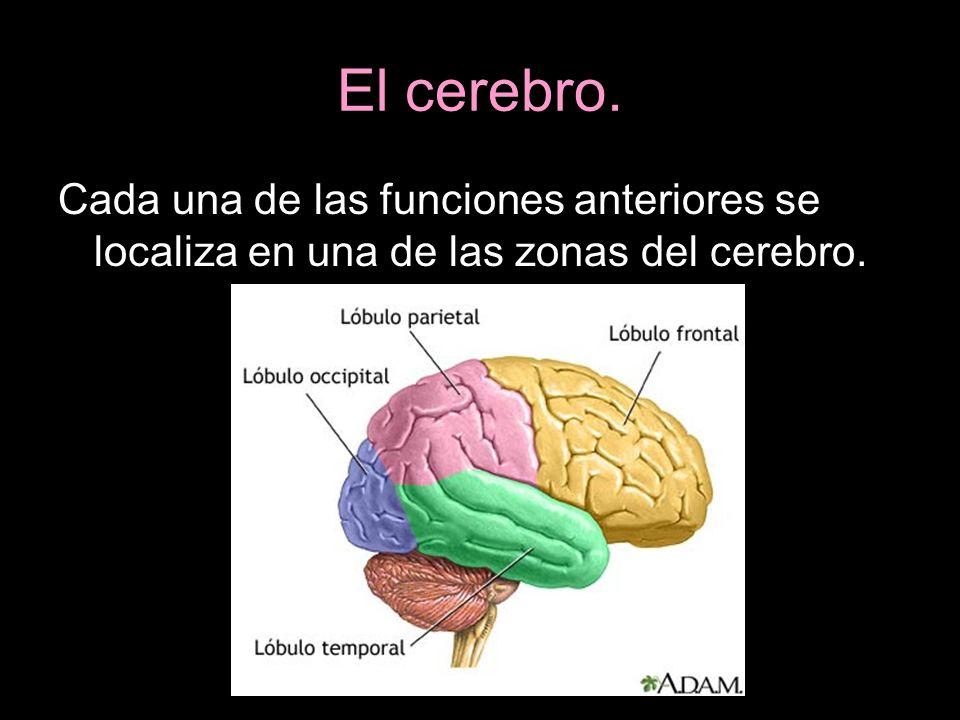 El cerebro. Cada una de las funciones anteriores se localiza en una de las zonas del cerebro.