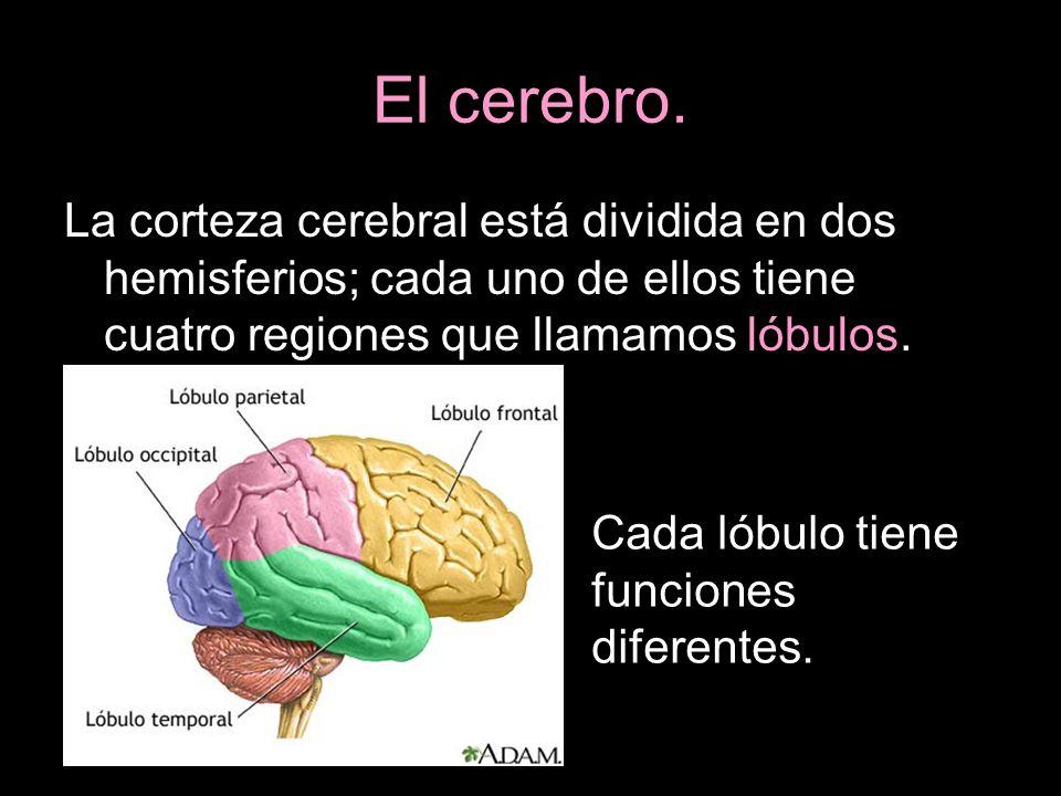 El cerebro.La corteza cerebral está dividida en dos hemisferios; cada uno de ellos tiene cuatro regiones que llamamos lóbulos.