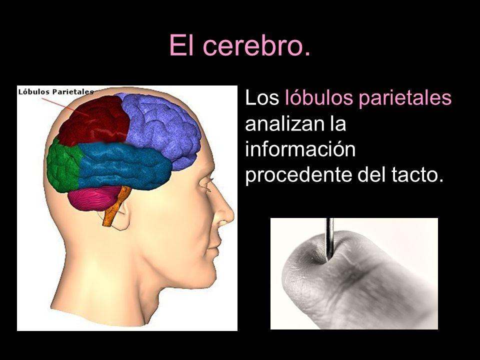 El cerebro. Los lóbulos parietales analizan la información procedente del tacto.
