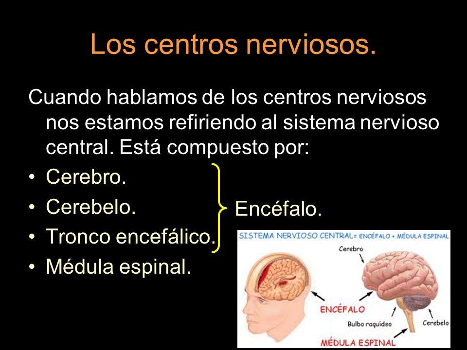 Los centros nerviosos.Cuando hablamos de los centros nerviosos nos estamos refiriendo al sistema nervioso central. Está compuesto por: