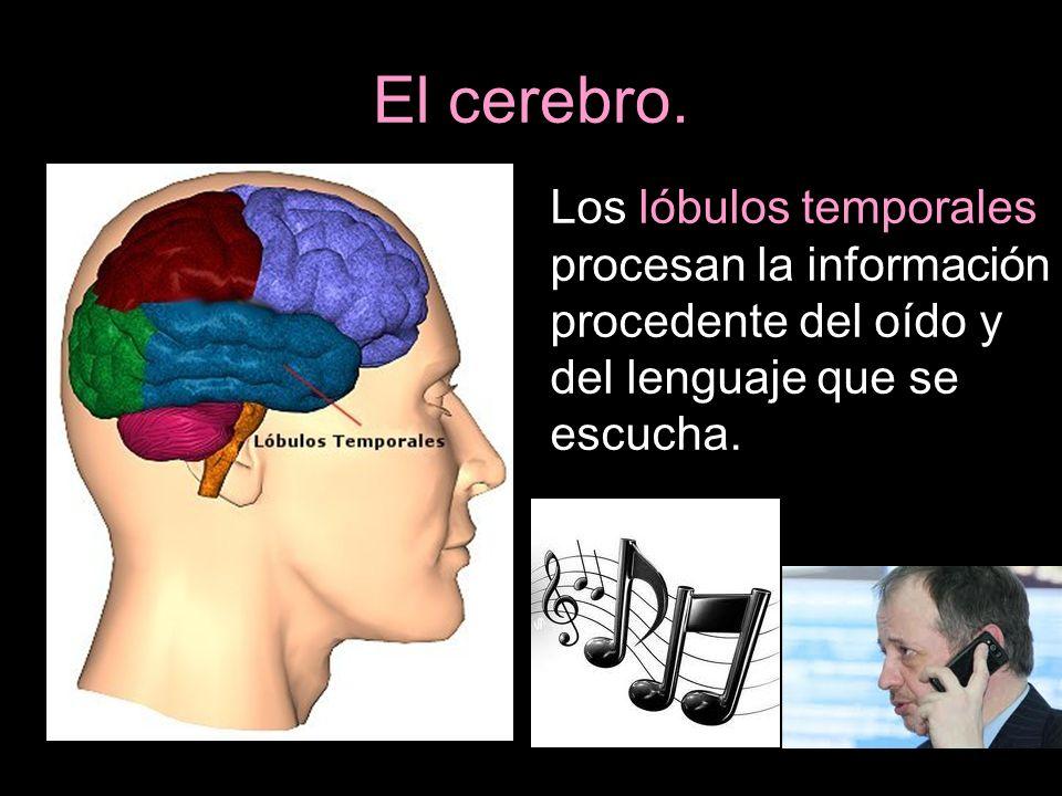 El cerebro.Los lóbulos temporales procesan la información procedente del oído y del lenguaje que se escucha.