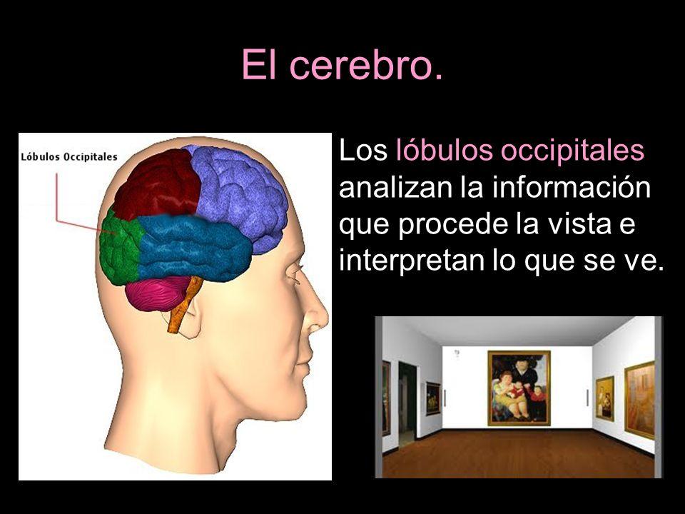 El cerebro.Los lóbulos occipitales analizan la información que procede la vista e interpretan lo que se ve.