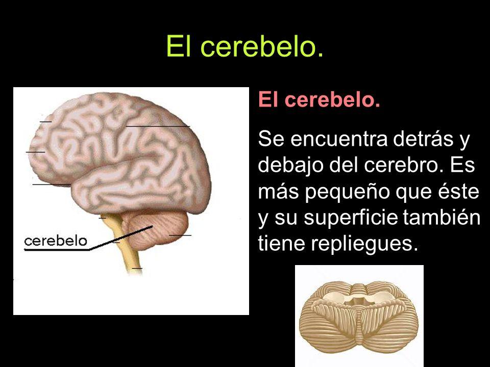El cerebelo. El cerebelo.