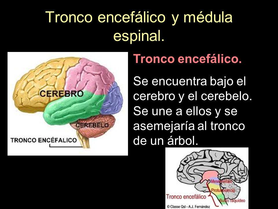 Tronco encefálico y médula espinal.