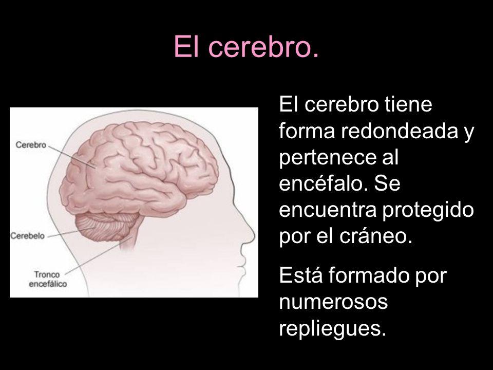 El cerebro. El cerebro tiene forma redondeada y pertenece al encéfalo. Se encuentra protegido por el cráneo.