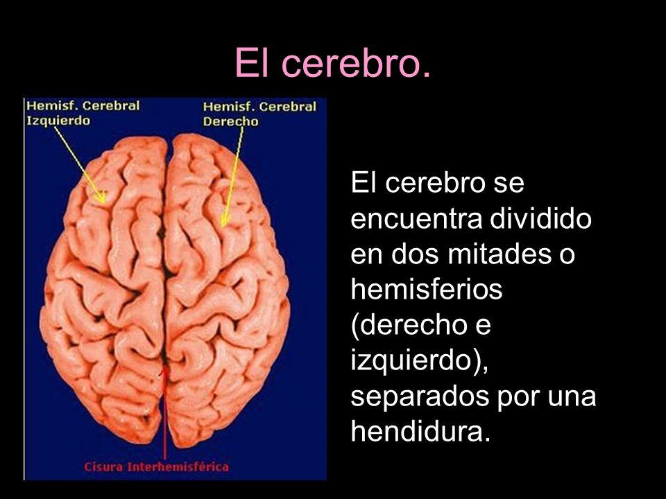 El cerebro.El cerebro se encuentra dividido en dos mitades o hemisferios (derecho e izquierdo), separados por una hendidura.